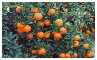 Zhangjiajie  Tangerines