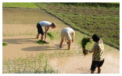 Transplant Rice Seeds in Yangshuo